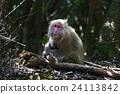 야쿠시마 세계 유산 지역, 서부 산길의 야쿠자루 24113842