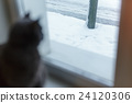 gray cat looking uotside from window 24120306