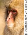 Monkey 24130652