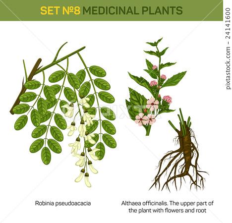 Herbal robinia pseudoacacia or black locust branch 24141600