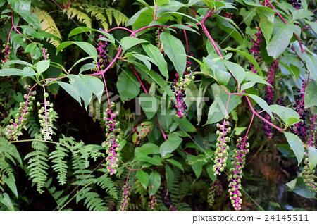 粉紅色的莖,葡萄狀的果實是有毒的,商陸-2 24145511
