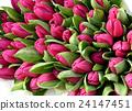 Colorful pink primroses 24147451
