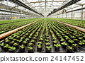 Interior of a commercial greenhouse 24147452