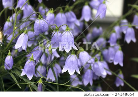 盛开的紫色植物 24149054