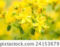 St. John's Wort (Hypericum perforatum)  24153679
