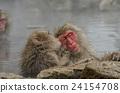 动物 猴子 温泉 24154708