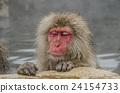 动物 猴子 温泉 24154733
