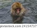 动物 猴子 温泉 24154737