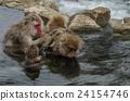 动物 猴子 温泉 24154746
