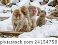 动物 猴子 雪 24154759