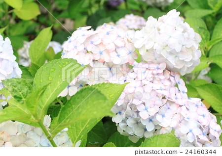 繡球花的繡球花 24160344