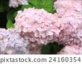 粉紅色的繡球花 24160354