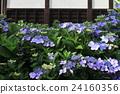 盛開的繡球花和寺廟的牆壁 24160356