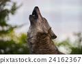 Shinlin Wolf的嚎叫声 24162367