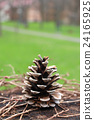 pinecone, pine cone, brown 24165925
