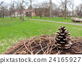 pinecone, pine cone, brown 24165927