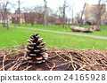 pinecone, pine cone, brown 24165928