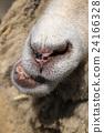 綿羊 羊 動物 24166328