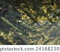 oshinohakkai, rainbow, trout 24168230