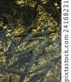 oshinohakkai, rainbow, trout 24168231