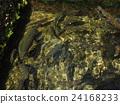 oshinohakkai, rainbow, trout 24168233