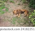 獅子午睡1 24182251
