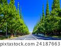은행나무 가로수, 은행나무, 가로수 24187663
