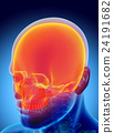 3D illustration of Cranium, medical concept. 24191682