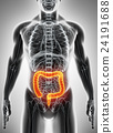 3D illustration of Large Intestine. 24191688