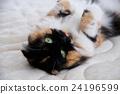cat, pussy, calico cat 24196599