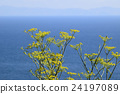 fennel, Foeniculum vulgare, flowers 24197089