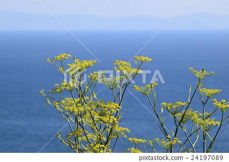 fennel, Foeniculum vulgare, ocean 24197089