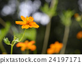 코스모스, 노랑, 꽃 24197171