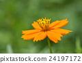 코스모스, 꽃, 노랑 24197172