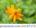 코스모스, 꽃, 노랑 24197173