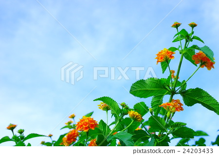 Orange lanthana and blue sky 24203433