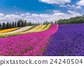 홋카이도 후라노 팜 토미 타 채색의 밭의 꽃밭 24240504