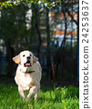 Golden Retriever puppy runs over the meadow 24253637