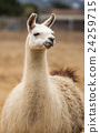 Llama - Lama glama, Portrait 24259715