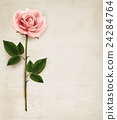 Single pink rose on an old paper background 24284764