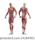 남성 근육 표본 인체 표본 perming3DCG 일러스트 소재 24284901
