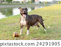 pitbull puppy dog 24291905