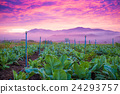 Sunrise in background with tobacco field 24293757