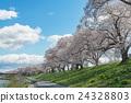 Cherry blossom (Sakura) along Shiroishigawa river 24328803