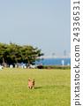 行走 草坪 臘腸犬 24336531