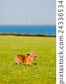 行走 草坪 臘腸犬 24336534