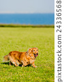 行走 草坪 臘腸犬 24336568