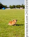 草坪 草地 臘腸犬 24336569