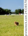 草坪 草地 臘腸犬 24336570