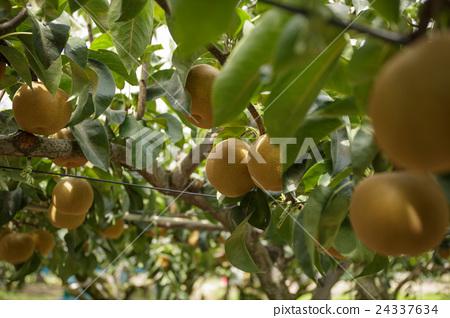 Pear hunting 24337634